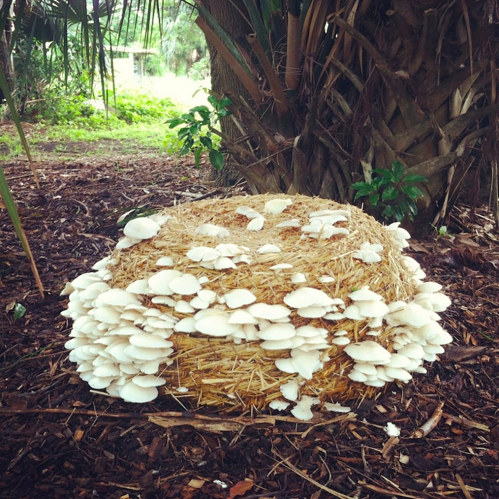 Oyster mushrooms on Mushroom Bump sculpture